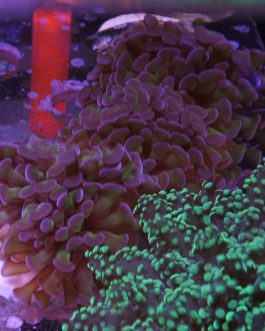Green Tip Purple Hammer Frags (2-3 heads)