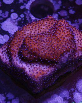 Mystic Sunset Montipora Frags (2″)
