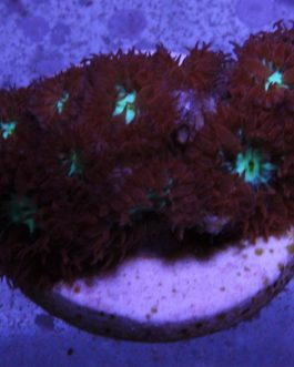 Red Green Blastomussa Merletti Frag (1.25″) [RGB-2]