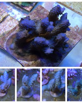 Blue-Tan Acropora