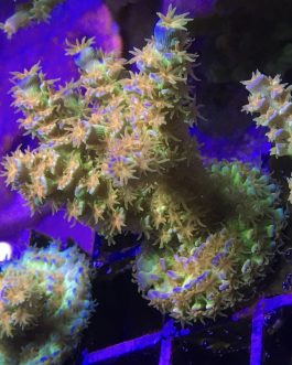 """Walt Disney Acropora tenuis Mini Colonies (~1.5"""") Fully Encrusted with Multiple Branches"""